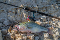 Bass with worm. Fish with worm on stones Stock Photography