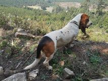 Bassett looking out over valley royalty free stock photography