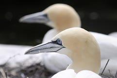 bassana接近的gannet桑属北  免版税库存图片