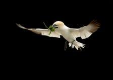 Bassana do norte do Morus do albatroz, em voo Fotografia de Stock Royalty Free
