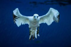 Bassanus du nord de Morus de fou de Bassan débarquant en vol au nid image libre de droits