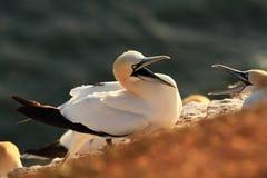 Bassanus Morus Helgoland Сфотографированный в Северном море Helgoland Стоковое Фото