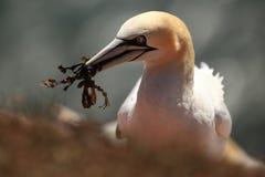 Bassanus Morus Helgoland Сфотографированный в Северном море Helgoland Стоковое фото RF