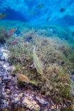 Basse de large ouverture, Sunfish repéré noir et caverne de ressorts photo stock