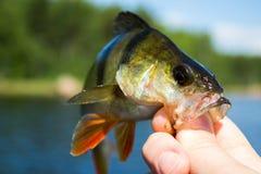 Basse de poissons dans la main du pêcheur à la ligne Images stock
