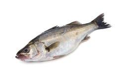 Basse-Lateolabrax japonaise de mer japonicus Photographie stock libre de droits