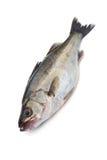 Basse-Lateolabrax japonaise de mer japonicus Image stock