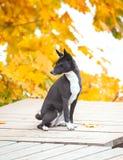 Bassenji preto que senta-se no cais de madeira cercado pela licença de outono fotos de stock royalty free