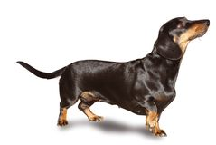 Basset. A small size nice dog Royalty Free Stock Photos