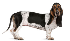 Basset Artésien Normand dog, 11 months old Stock Photo