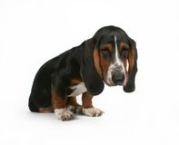 Basset baby Stock Photo