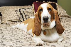 Basset on a bed. A Basset hound looks into the camera as it lies on a bed Royalty Free Stock Image
