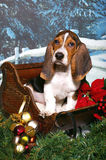 Basset in a Christmas Sleigh Stock Photo