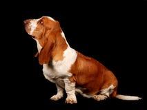 Basset de zitting van de hondenhond neer Royalty-vrije Stock Foto's