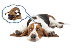 Basset dog dreams of Small Brabant Griffon girlfriend. On a white background in studio royalty free stock photography