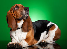 Basset dog on green background Stock Photos