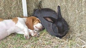Basset e coelho Fotografia de Stock Royalty Free