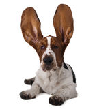 Basset ears up. On a white background Royalty Free Stock Photo