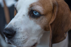 Basset dog face Stock Photo