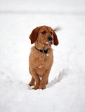 Basset Fauve. De Bretagne dog standing in the snow stock photography