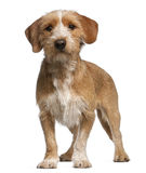 Basset Fauve de Bretagne, 1 year old, standing Royalty Free Stock Image