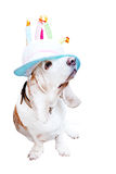 Basset in the funny Hat Stock Photos