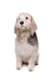 Basset Griffon Vend�en Royalty Free Stock Image