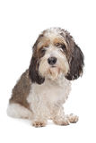 Basset Griffon Vendeen Stock Photography