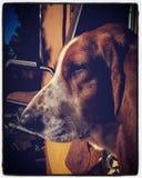 Basset Hond stock afbeeldingen