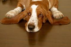 Basset hond stock foto
