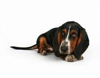 Basset hond Stock Foto's