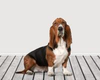 Basset Hond Royalty-vrije Stock Foto's