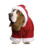 Basset hond in de laag van de Kerstman, 2 jaar oud stock foto's