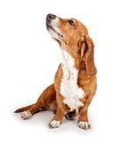 Basset Hond die Bevelen negeert stock fotografie