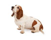 Basset Hond die linker kijkt royalty-vrije stock afbeeldingen