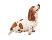Basset Hond die omhoog eruit ziet royalty-vrije stock foto's