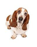 Basset Hond met droevige ogen Royalty-vrije Stock Afbeeldingen