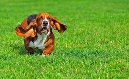 Basset Hond in motie royalty-vrije stock afbeelding