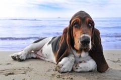 Basset hond op een strand royalty-vrije stock fotografie