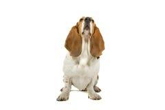Basset hondenhond Stock Afbeeldingen