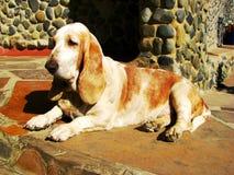 Basset hondenhond Royalty-vrije Stock Foto's