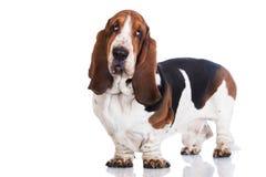 Basset hondenhond op wit royalty-vrije stock afbeeldingen