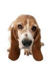 Basset hondenportret hierboven wordt genomen dat van Royalty-vrije Stock Afbeelding