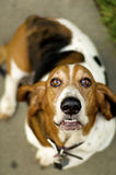 Basset Hound. Stock Photography