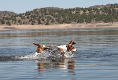 Basset hound. Bounding through the water Stock Images