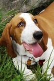 Basset hound. Lazy day at the park for the dog royalty free stock photography