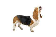 Basset Hound. Side view of cute Basset hound licking lips, isolated on white background Stock Photo