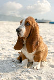 Basset hound. Puppy basset hound sitting on sand beach royalty free stock images