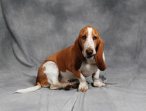 Basset Hound. A male Basset Hound just sitting around royalty free stock photography