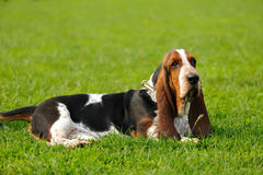 Basset Hound Royalty Free Stock Photos